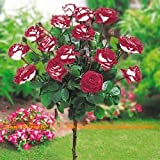 100 Samen/Pack, Topf New Variety Red & White Rose Samen Baumsamen, stark duftenden Garten-Blumen
