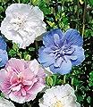 BALDUR-Garten Hibiskus Chiffon-Kollektion 3 Pflanzen pink, blau, weiß Hibiscus syriacus von Baldur-Garten bei Du und dein Garten