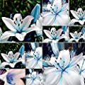 display08 50Pcs Blue Rare Lily Bulbs Seeds Planting Lilium Flower Home Garden Decor : everything five pounds (or less!)