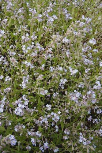 Just Seed Britische Wildblume Field vergessen, mich nicht Myosotis arvensis 10 g Samen