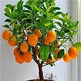 graines de fruits nain graines Oranger permanent de plantes d'intérieur dans l'usine de décoration de jardin Pot 30pcs E01