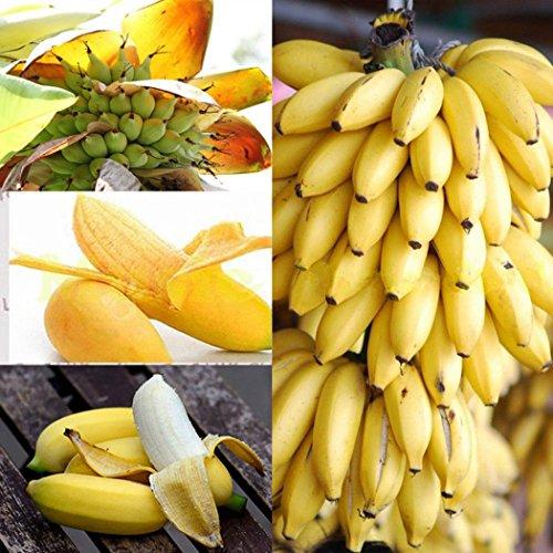 Coorun 10/20/30/50/100 Stücke Banane Samen Mini Bonsai, exotische Hausgarten Obst Bäume Outdoor Obst Samen für Garten Pflanzen (50 Teile/paket)