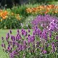 lichtnelke - Zottiger Ziest (Stachys monnieri HUMMELO) von Lichtnelke Pflanzenversand - Du und dein Garten