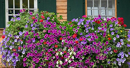 Flower Seeds : Mixed Petunia - Attractive bedding Flower Flower Seeds For Winter Season - Garden Flower Seeds Pack by Creative Farmer  available at amazon for Rs.99