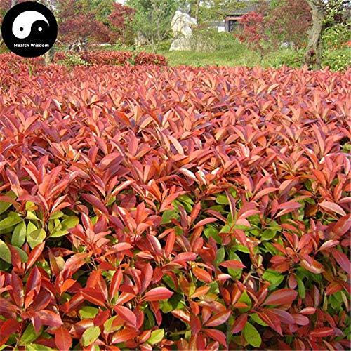 PLAT FIRM KEIM SEEDS: 50pcs: Kaufen Photinia Serrulata Baumsamen Pflanze Red Robin Für Heather Shi Nan