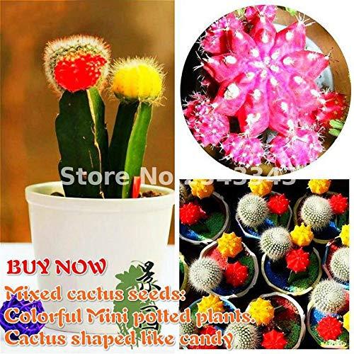 Shopmeeko 2017 förderung 100 Teile/beutel Gemischte kaktuspflanzen Bonsai Sukkulenten pflanzen Für Hausgarten Bunte Mini Topfpflanzen Blume Samen: Bunt