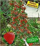 BALDUR-Garten Kletter-Erdbeere 'Hummi®', 3 Pflanzen Fragaria Erdbeerbäumchen schnellwachsende Klettererdbeeren, selbstfruchtend