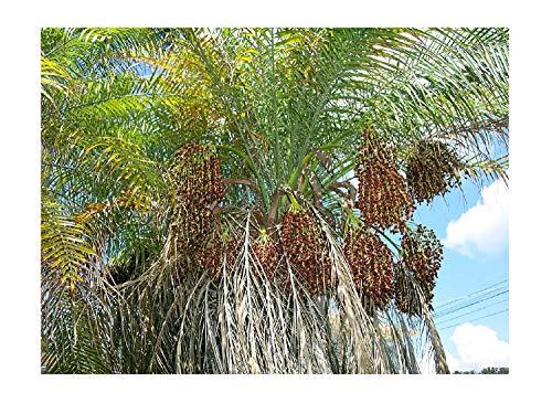 Zwergdattelpalme Phoenix roebelenii Pflanze 20cm Dattelpalme Palme Datteln