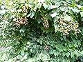 Brombeeren 10 Samen (Waldbrombeere) von Samenchilishop - Du und dein Garten