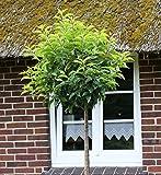 Hochstamm Portugiesische Lorbeerkirsche Angustifolia 40-60cm - Prunus lusitanica