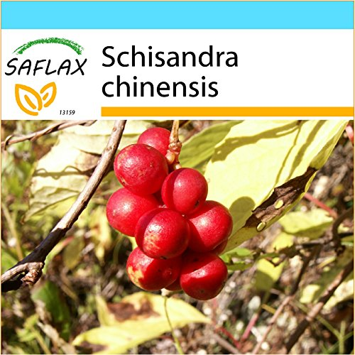 SAFLAX - Set regalo - Schizandra - 15 semillas - Schisandra chinensis