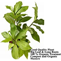 Generic Insulin Live Plant |Natural Insulin | Great Mediational Plant |Diabetes Plants | Costus igneus Plant with Polythene Bag
