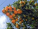 #3: Live Word Famous Darjeeling Orange Plant - Mandarins -Great Quality - 3 feet height
