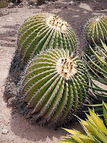 Echinocactus platyacanthus, Fasskaktus, 20 Samen