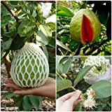 Siam Garden Guava Thai Dwarf Inside Pink Sweet Crunchy Great Taste Guava Air Layered Healthy Plants