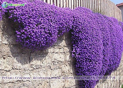 Fiori Perenni.Semi Di Fiori 100 Aubrieta Seeds Semi Di Cascade Fiore Viola
