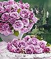 Delbard® Parfum-Rosen 'Dioressence®', 1 Pflanze Duftrosen Edelrose von Delbard - Du und dein Garten