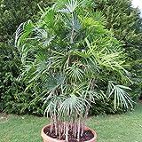 15 Semillas de Palmera de Bambu (Rhapis Excelsa)