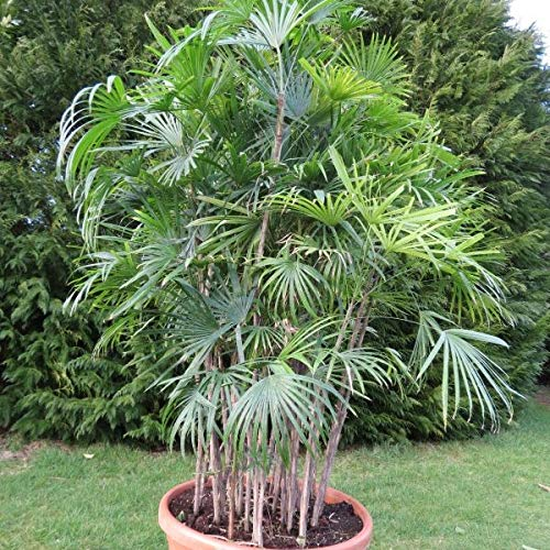 15 Bambuspalmensamen (Rhapis Excelsa)