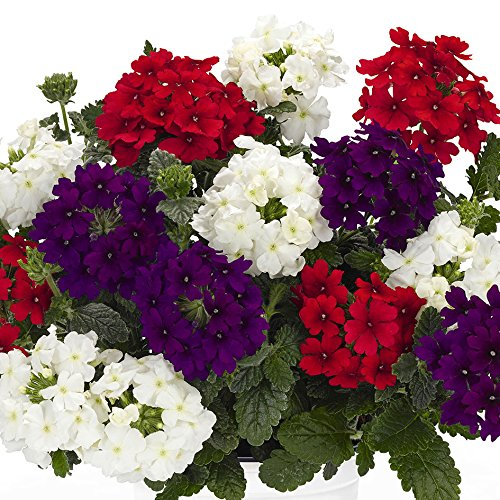 verbena-trailing-6-jumbo-ready-plants-mixed-colours-6