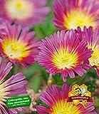 """BALDUR-Garten Winterharte Eisblume """"Hot Pink Wonder"""";3 Pflanzen"""