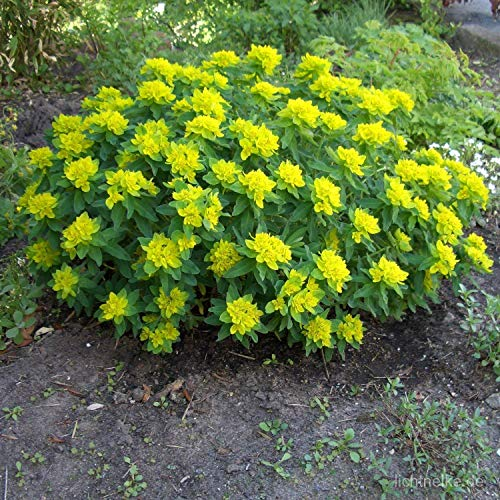 euphorbia gialla nr.25 semi