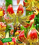 BALDUR-Garten Lilie 'Fusion' 3 Knollen Lilium