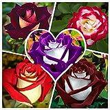 100 Samen / New Rose Samen verpacken, 5 verschiedene Farben Rare Osiria Rose Erbstück Chinese Rose Blumensamen Blumen