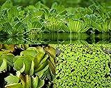 ZAC Wagner XXL Schwimmpflanzen Sortiment 4 Sorten neu Teichpflanzen Teichpflanze Schwimmpflanzen
