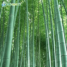 Pinkdose New Arrival! 50 Pieces Seeds Fresh Giant Moso Bamboo Seeds For Diy Home Garden Plant 95% Budding Rate