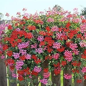 dominik blumen und pflanzen geranien h ngend 6 pflanzen rot 6 pflanzen rosa bl hend 12 cm. Black Bedroom Furniture Sets. Home Design Ideas