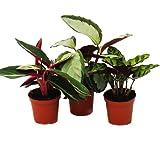 Shadow plants set of 3 - with unusual leaf pattern - Calathea - 7cm pot - approx. 20cm high
