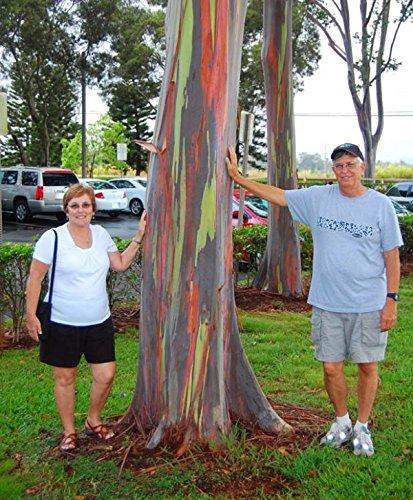 Galleria fotografica 200pcs / bag rara deglupta Arcobaleno di eucalipto, appariscente albero tropicale, semi di albero per giardino semina bambino e amante come