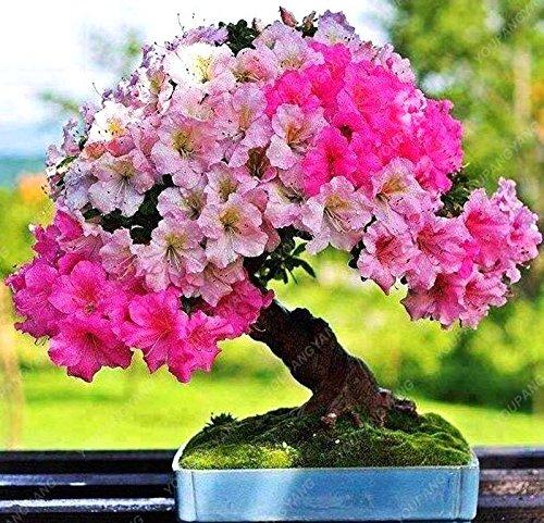 20 graines / paquet de graines de sakura japonais bonsaï ornement graines de cerisier fleurs de cerisier pour la maison et jardin noir