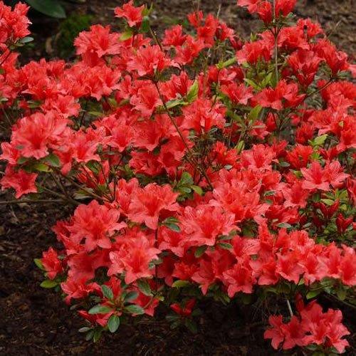 1-x-azalea-orange-beauty-japanese-evergreen-shrub-hardy-plant-in-pot