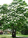 Trompetenbaum **Catalpa bignonioides** 50 Samen