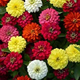 Zinnia Mixed Flower Desi Seeds Summer Variety Special for Home and Balcony Gardening ( Free) By Gate Garden