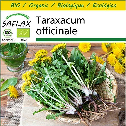 SAFLAX - Kit de culture - BIO - Pissenlit - 400 graines - Avec mini-serre, substrat de culture et 2 pots - Taraxacum officinale