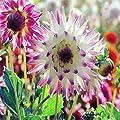 Halbkaktusförmige Dahlie Hayley Jane von Meingartenshop - Du und dein Garten