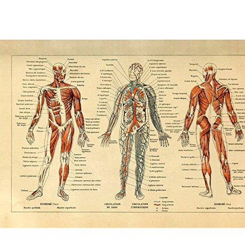 Meishe Art Vintage Poster Print menschlichen Anatomie Referenz Illustration Diagramm Diagramm Layout blood-vascular System Kreislauf Muskulatur Medical Skelett Muskulatur Wand Decor