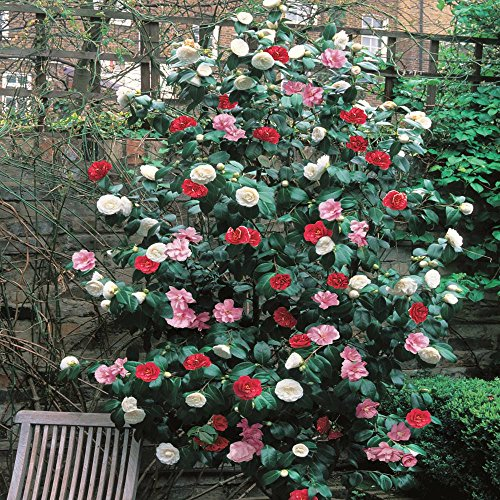 camellia-tricolour-1-shrub