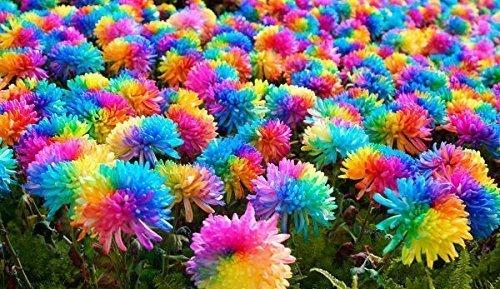 25x Bunte Blumen Samen Regenbogen frisches Saatgut Blumensamen frisch Hingucker Pflanze Blumen Rarität Garten Neuheit #94 (Bunte Garten-blumen)