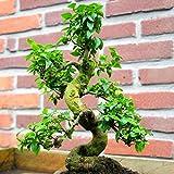 Bonsaï Ligustrum 9 ans - 1 arbre