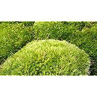 Musgo de yacija como sphagnum, tierra para reptiles en el terrario (6 bolas)
