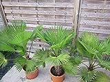 Trachycarpus Wagnerianus 90-100 cm. Frosthärteste Palme der Welt Bis - 17 Grad