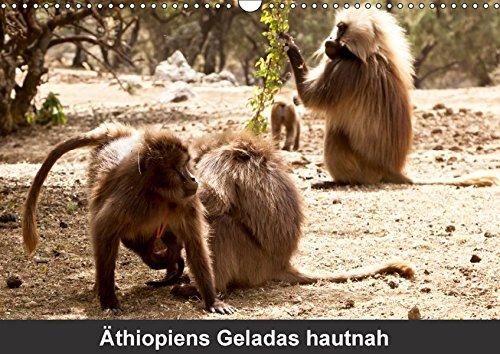 Äthiopiens Geladas hautnah (Wandkalender 2018 DIN A3 quer): Die nur im Hochland Äthiopiens vorkommenden Geladas (Blutbrustpaviane) beeindrucken durch ... [Kalender] [Apr 01, 2017] Krause, Johanna