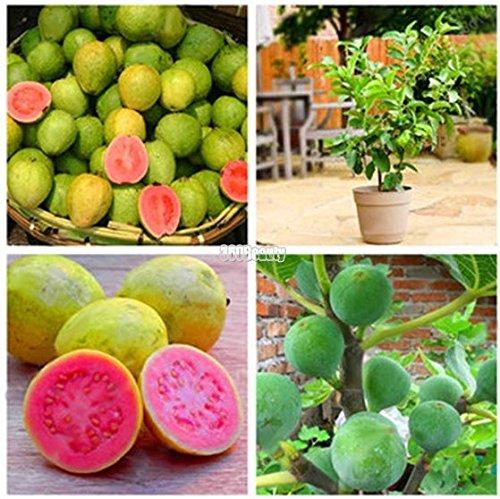 Aimado Samen 30 Stück Bio-Feigen Samen Selten Feigenbaum Obstpflanzen Frucht-Feige mehrjährig winterhart Obst Saatgut für Balkon, Garten