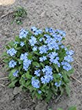 seekay Myosotis Bleu Balle - FORGET ME pas - 500 graines