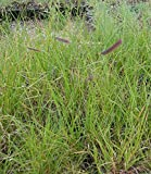Bouteloua gracilis - Moskitogras, 50 Pflanzen