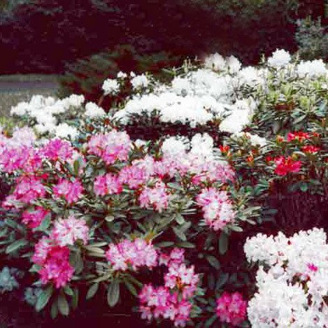 Plant World Seeds - Rhododendron Yakushimanum Hybrids Seeds